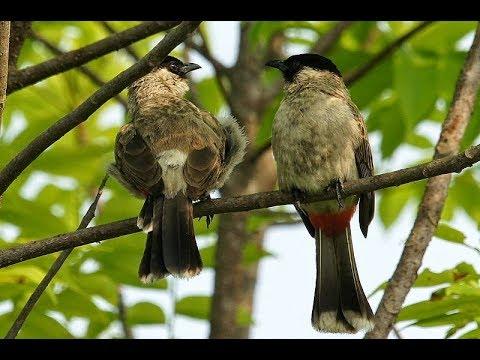 Pikat burung kutilang gacor kutilang liar banyak yang datang kutilang andalan