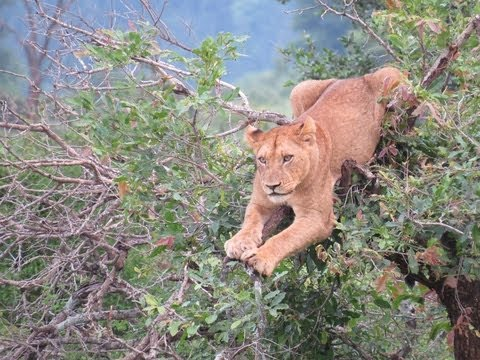 Tree Full Of Lions -17th November 2012 - Latest Sightings