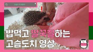 [홍또둥] 밥먹고 딸국질하는 고슴도치 영상