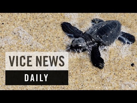 VICE News Daily: Mexico Deploys Drones to Fight Turtle Poaching