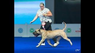 Преса Канарио (канарский дог) Контэ выигрывает Юного Чемпиона Европы 2018