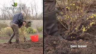 Plantation du forsythia et entretien - Jardinerie Truffaut TV