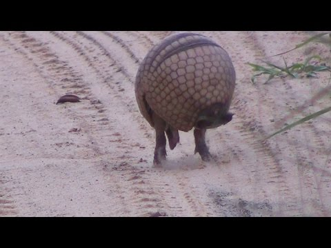 Tatu virando bola,  Armadillo  rolls into a ball - In the wild Brazil