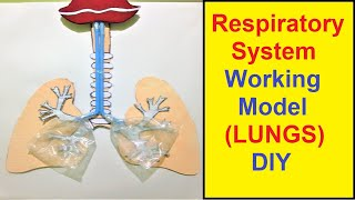 respiratory system working model (LUNGS) for school science exhibition (class 10)