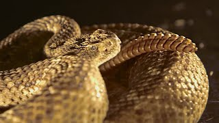 Rattlesnake Tail In Slow Motion - BBC Earth thumbnail