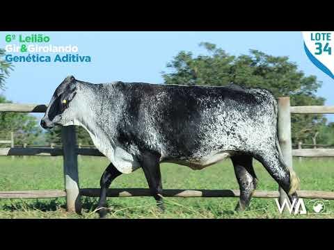 LOTE 34 - 6336 BD - 6º Leilão Gir & Girolando Genética Aditiva