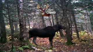 Orignal avec Pheromone femelle / Moose on pheromone cow moose