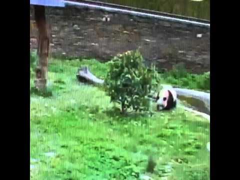 Wolong National Nature Reserve - Panda verse the tree.