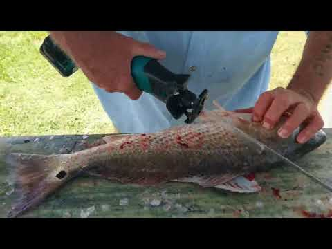 Redfish Video