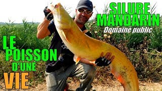 Silure Mandarin en direct ! (MICH PÊCHE)