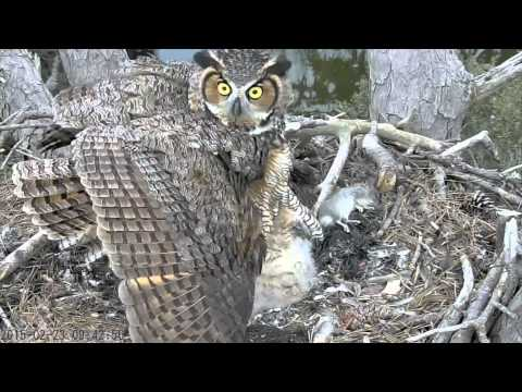 Mom Great Horned Owl Reacts to Threat to Chicks