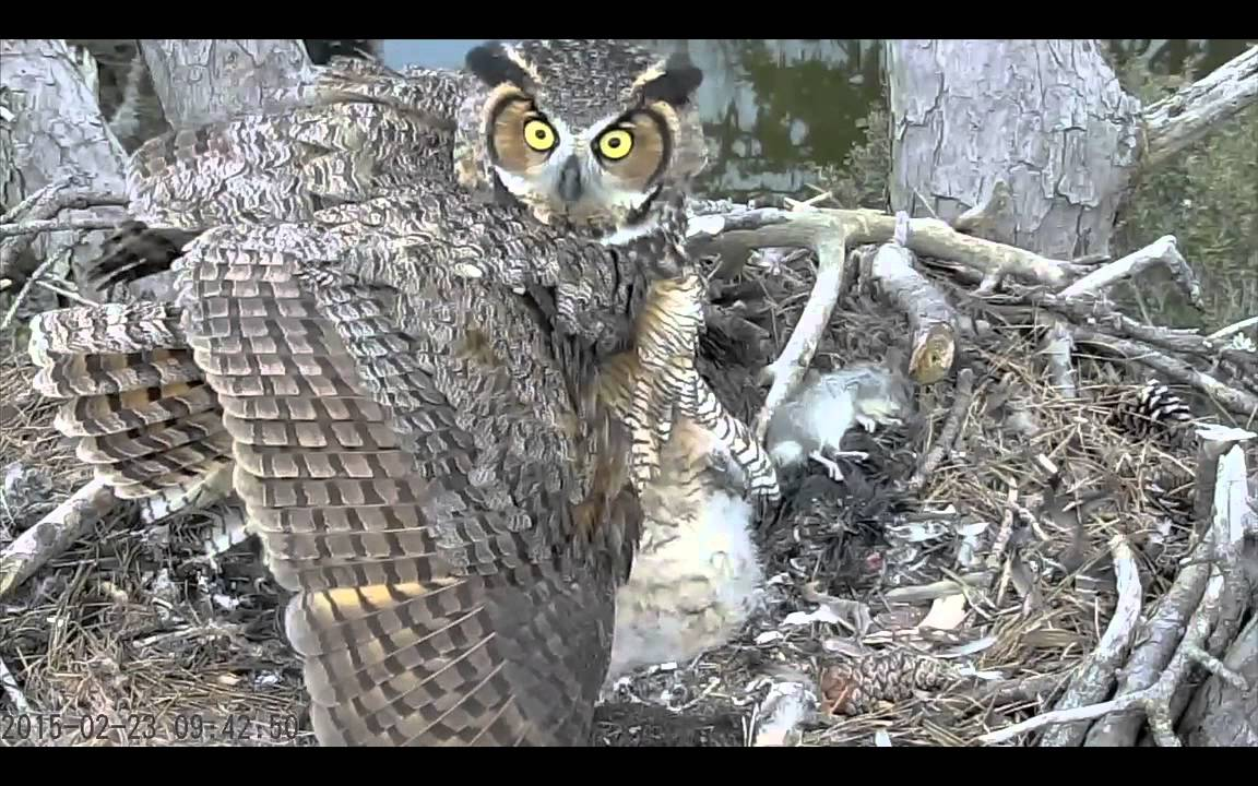 Mom Great Horned Owl Reacts to Threat to Chicks YouTube