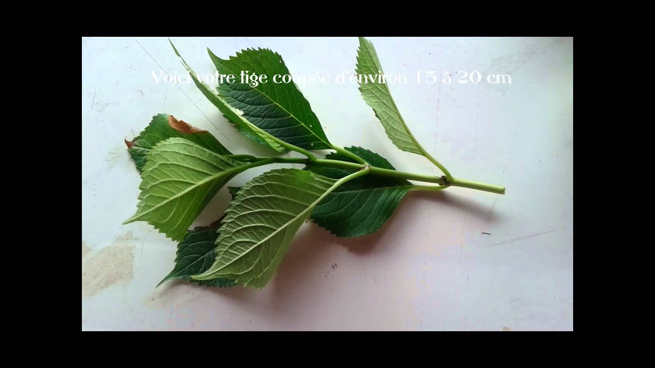 Bouture hortensia youtube - Comment bouturer un hortensia ...