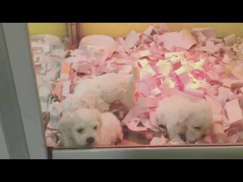 Satılık maltese terrier yavrularımız.. BURAK ŞEN 05452438996
