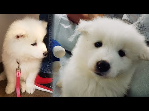 I got a New Puppy! Meet Nukka the 6 Week old Samoyed Puppy!