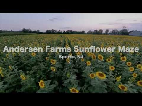 DJI Phantom 2 Sunflower Maze Flight at Sunset