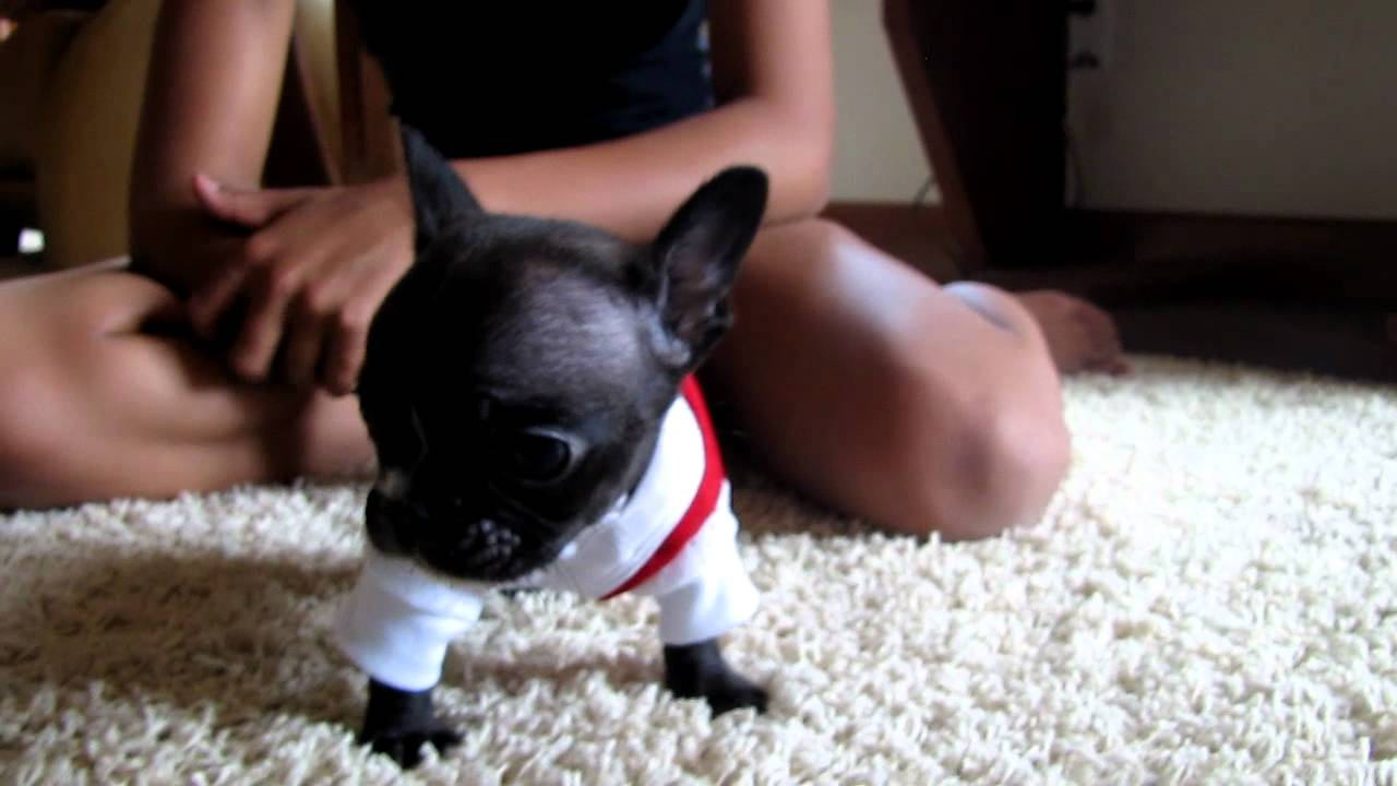 Toy French Bulldogs - Goldenacresdogs com