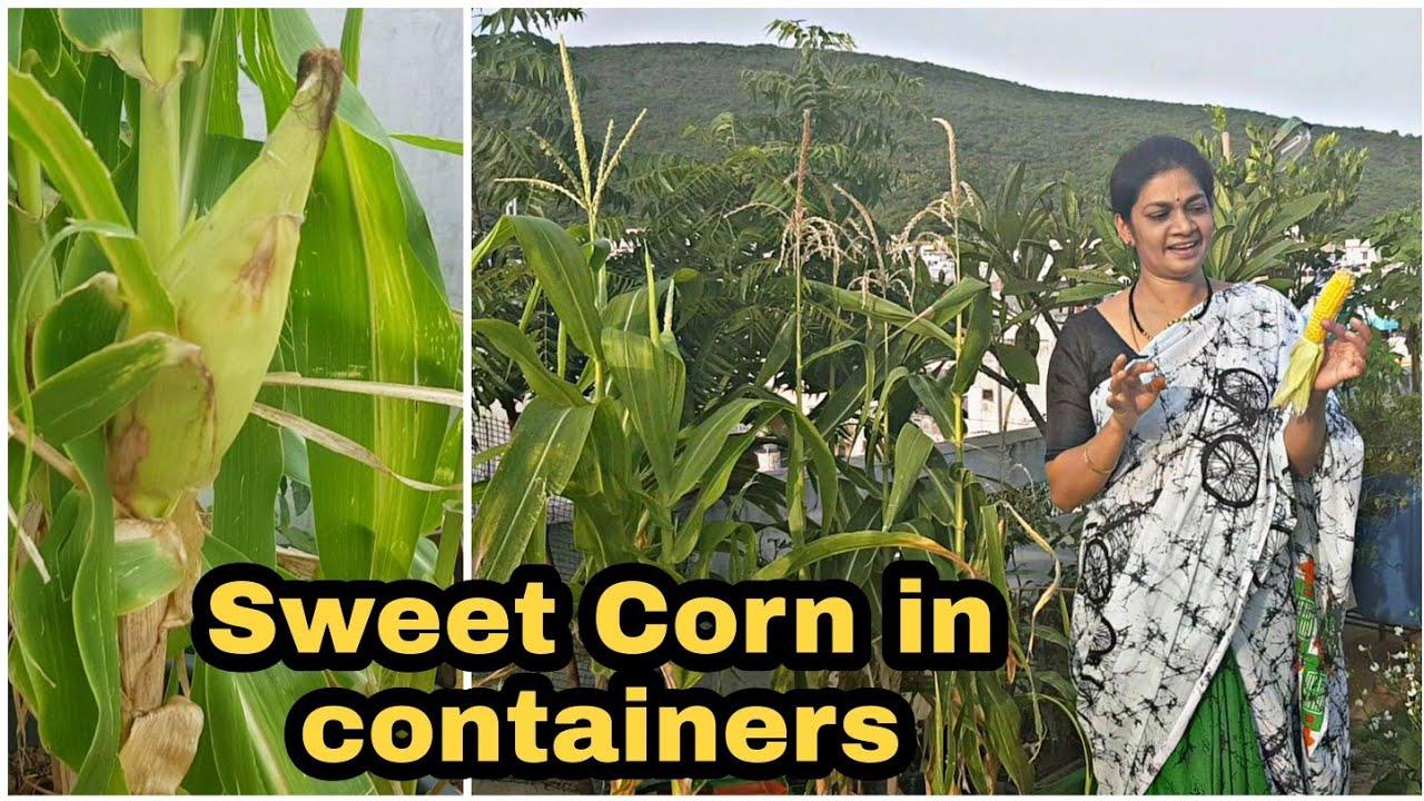 Tips for growing Sweet Corn/స్వీట్ కార్న్ కూడా సులువుగా మిద్దెతోట లో పెంచవచ్చు #gardening #howtogrow