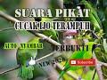 Suara Pikat Cucak Ijo Terapuh  Mp3 - Mp4 Download