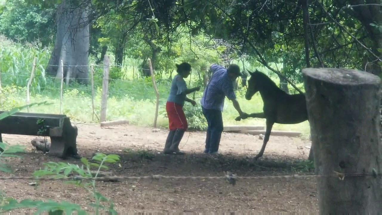 Ganado y Caballos en El Cuco San Miguel El Salvador On 2020