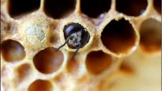 Drone honey bee prepares to emerge from cell. (V2963)