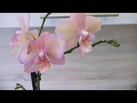 Что произошло с орхидеей через месяц после пересадки/ Орхидея Легато