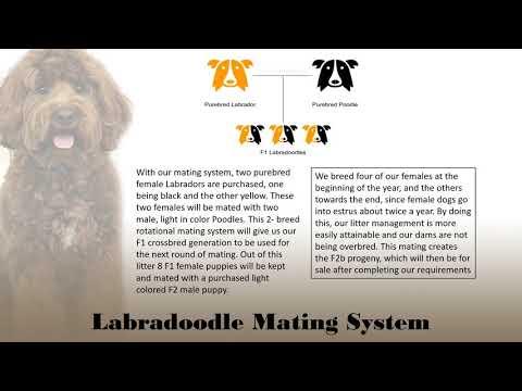Labradoodle Breeding Proposal Presentation AGCOMM400