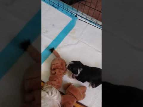 3 week old Löwchen puppy playing.