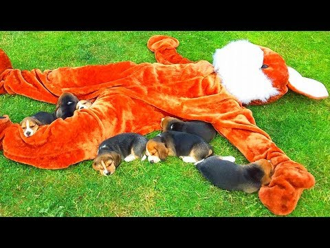 Cute Beagle Puppies Vs Giant Bunny : Funny 4 Weeks Old Puppies