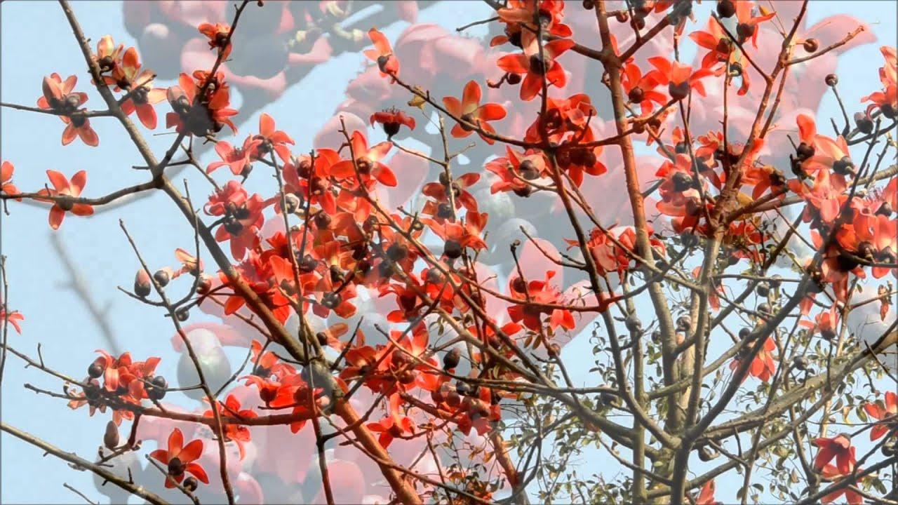 Bombax ceiba (Silk cotton tree, सेमल) in full bloom