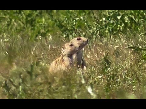 PD1 Suppressed Prairie Doggin