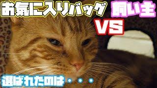 【実写】飼い主と一緒に寝たがる猫がかわいすぎる【マンチカン 猫  munchk…