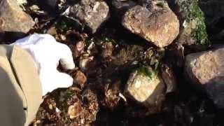 岩ガニの取り方1