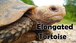 Elongated Tortoise