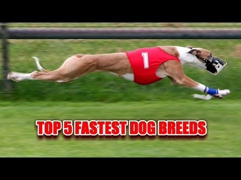 5 Most Fastest Dog Breeds in the World