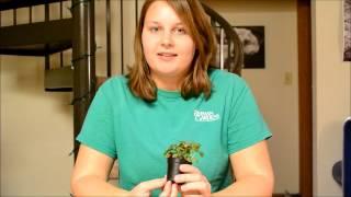 Hypoestes phyllostachya - Polka-dot Plant
