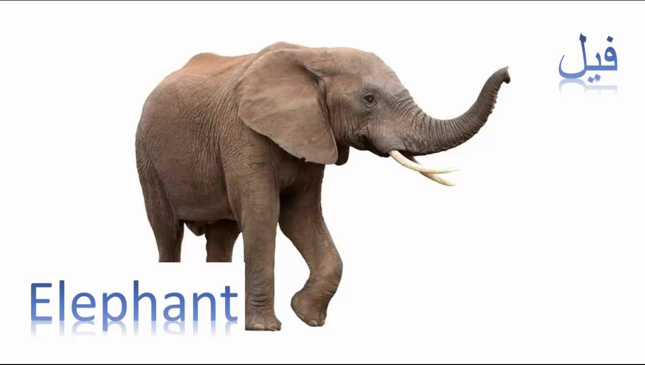 Elephant فيل Animals Arabic English سلسلة الحيوانات بالعربية والانجليزية Youtube