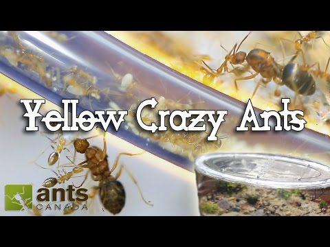 Thumbnail: ANT WAR or SUPERCOLONY: New Yellow Crazy Ants