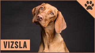 Viszla Dog Breed  Vizsla What To Know