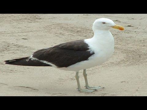 GAVIOTAS (aves denigradas) grabadas en playa by Romanorvm
