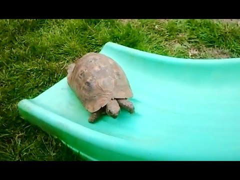 'Turtles and Tortoises on Slides Compilation' || CFS