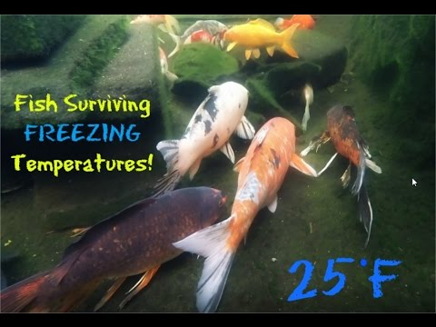 Fish Surviving Freezing Waters