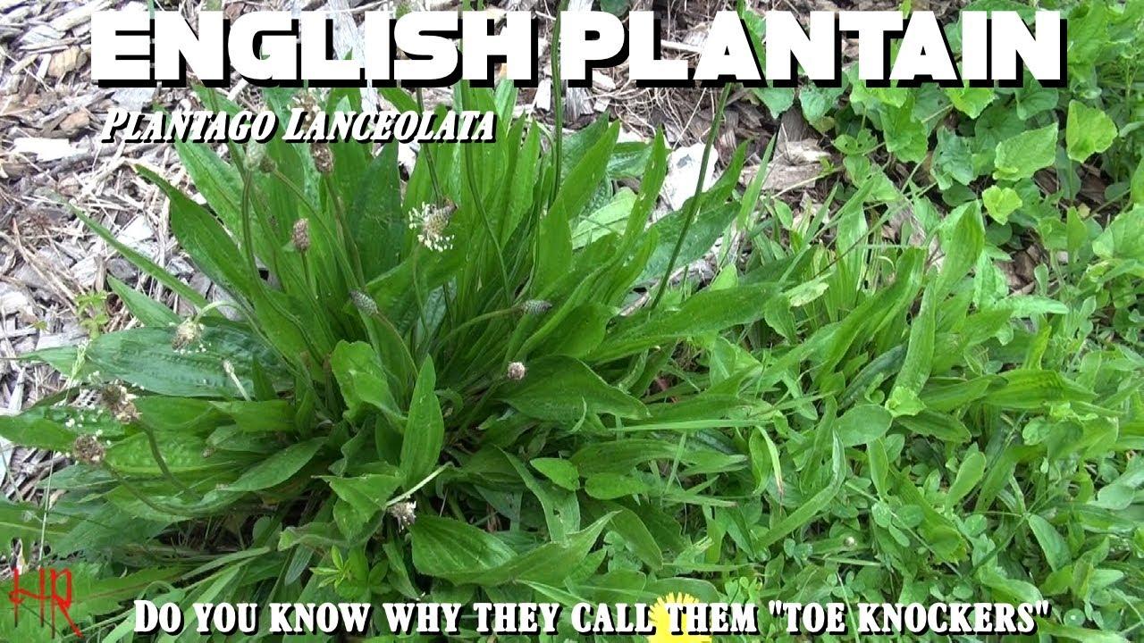 llanten planta medicinal en ingles