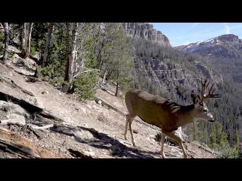 Yellowstone Elk Migration Trail is a Wildlife Highway: Amazing Trail Cam Video