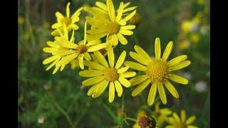 Швейцарские ботаники против растений-захватчиков