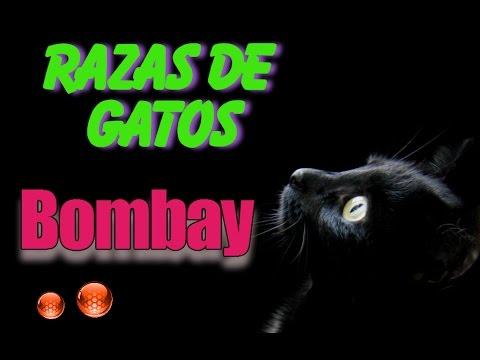 El Gato Bombay - Todo sobre las caracteristicas de la raza de Gato Bombay