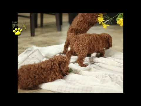 Poodle Toy Puppies
