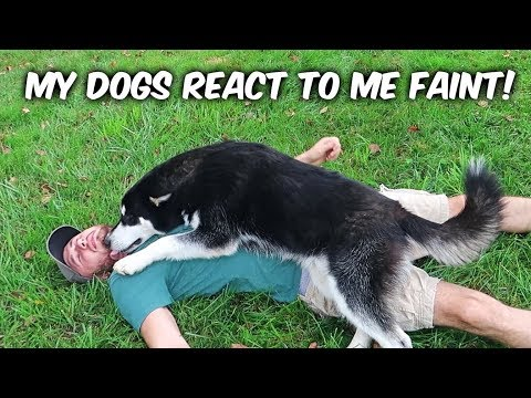 My Dogs React to Me Pretend Faint!