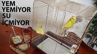 Muhabbet Kuşu Yem Yemiyor Su İçmiyor