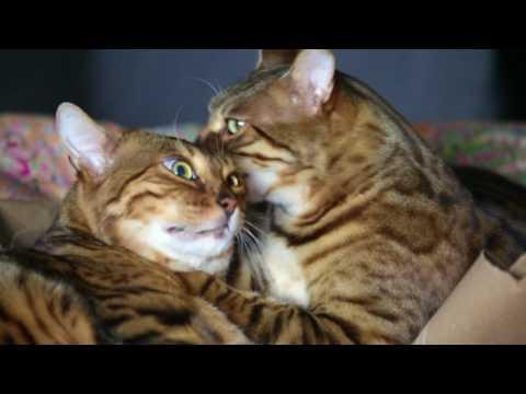 Cat Licking